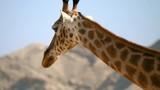 Portrait of giraffe walking - 244107204