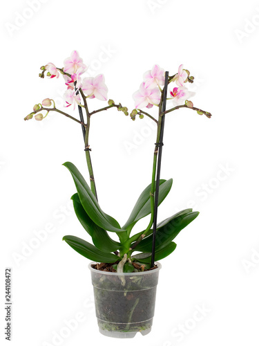 white orchid in pot isolated on white background - 244108472