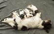 Newborn dog puppies - 14 days old - Jack Russell Terrier doggies  drinking milk on her mother