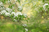 Branch of a flowering Apple tree on the background of a blurred green garden