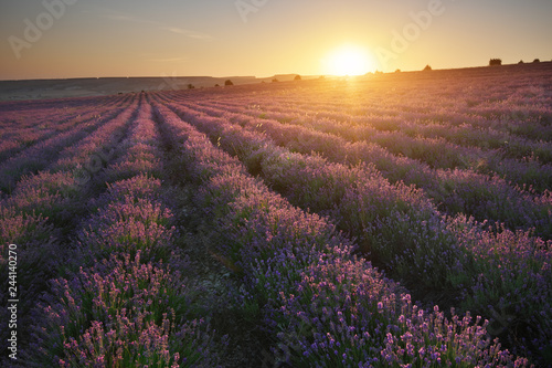 Meadow of lavender at sunset. - 244140270