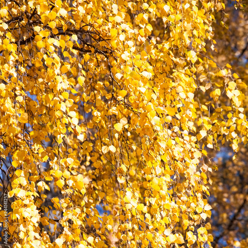 golden fall yellow leaves pattern - 244141257