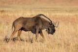 Black wildebeest in grassland - 244145438