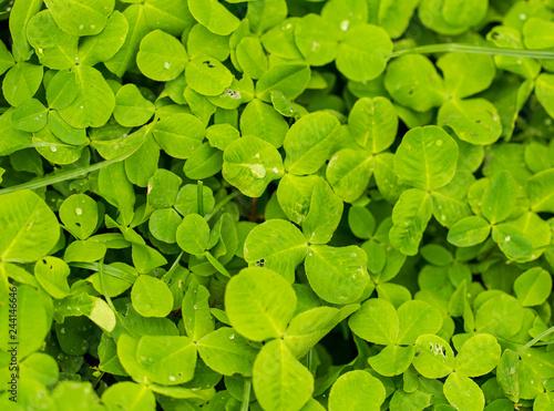 Leinwandbild Motiv Green clover leaves on the nature as background