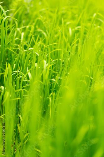 Leinwandbild Motiv Green grass on nature as background