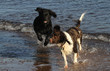 An English Springer Spaniel and a Newfoundland dog playing in the sea on a beach in Scotland.
