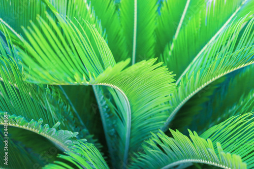 Natural greenery background of tropic palm leaves. Selective focus.