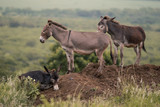A group of donkeys; one lying down and two standing on a mound of dirt in rural KwaZulu Natal, South Africa - 244161058