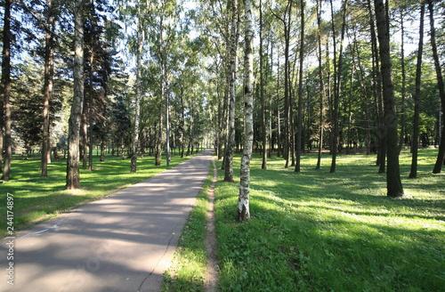 Birch Alley at Day - 244174897