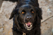 black, dog, dog, pet, animal, muzzle, teeth, look