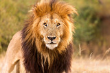 Löwe. Starker Blick. Auge in Auge mit einem Löwen König in der Savanne