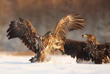 Fighting Two White Tailed Eagles (Haliaeetus Albicilla). Sea Eagle in Winter.