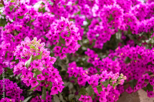 colorful purple flowers in the garden - 244179041