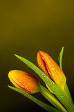 Fototapeta Tulipany -  Orange Tulips on graduated plain green background with water droplets © mickblakey
