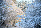 snow covered bare shrubs reddish and blue in the winter morning sun - 244188252