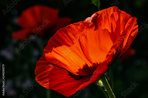Roter Mohn - 244200079