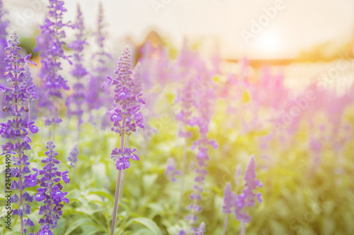 Lavender flower beautiful and bright purple - 244204490