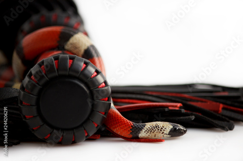 Red-black floger with a patterned handle and leather tails and young Scarlet kingsnake Lampropeltis elapsoides on white background. - 244206291