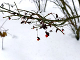 Red berries on the branches in the winter garden, close up - 244211618