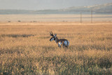 Pronghorn antelope in the tall prairie grass.  Mountains rise in the distance.   - 244215893