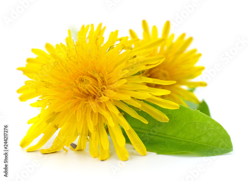 Two dandelions with leaves. - 244217276