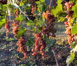 Bunch of grapes on a vine in the sunshine the winegrowers grapes on a vine red wine photo - 244244297