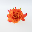 Coral rose flower isolated on the white background.Macro