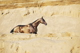 Golden buckskin Akhal-Teke stallion wandering through the sand in summer day. Vertical, side view, in motion. - 244249698