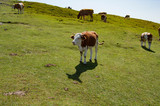 Fototapeta Fototapety góry  - Some cows we encountered during a hike in the mountains eating grass © Uro