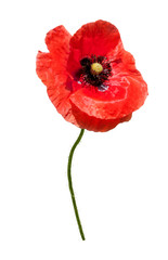 Beautiful wild red poppy isolated on a white background.