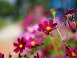 Fototapeta Kosmos - cosmos flower in open park  © maewshooter