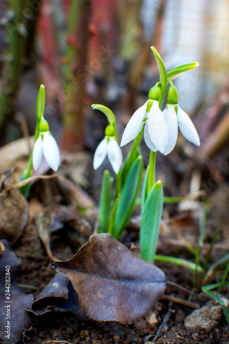 Foto Murales Snowdrops rise from the ground to announce spring