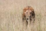 Leone maschio cammina nella Savana - 244300453