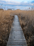 Jetty to a cabin in the reed of a lake - 244311823