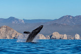 humpback whale breaching in cabo san lucas mexico