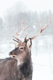 Sika deer ,  Cervus nippon, spotted deer  Macro portrait,   in the snow on a white background - 244317290