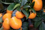 tangerine mandarine orange fruit on plant detail