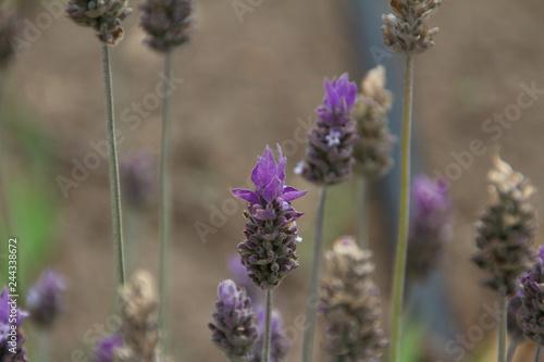 Fields of Lavander - 244338672