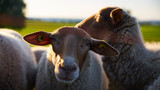 Vieh an einem Sommertag - 244343412