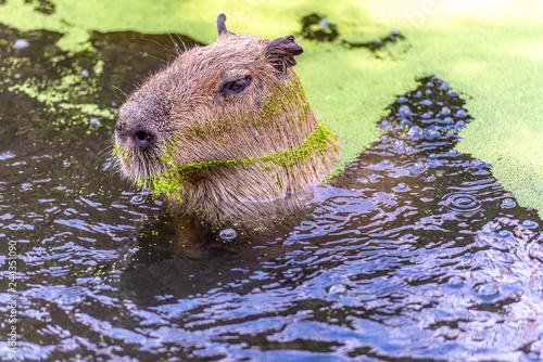 Poster Capibara swims through the water