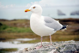 a single seagull sitting on a rock at the atlantic ocean