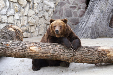 Bear at the Moscow zoo