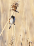 Reed Bunting - 244373635