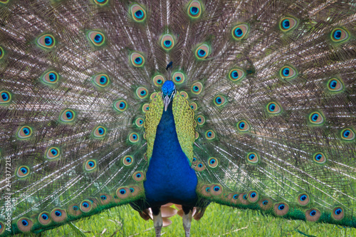 Poster Male peacock mating ritual.