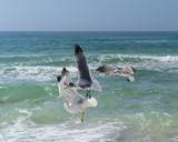 Seagulls Feeding in Midair over the ocean