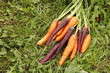 Carrots orange and purple, harvest in the garden on the green grass.