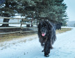 Old Newfoundland dog out enjoying the snow storm on the farm in Alberta