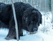 Newfoundland dog exploring the cold winter forest out in Alberta Canada