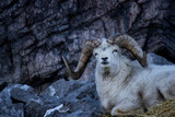 Big horned sheep amidst rocky outcropping with cool light during mid winter - 244420429
