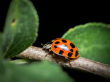 An adult Asian ladybeetle sitting on a small twig